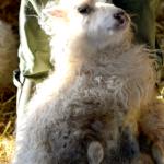 Als een schaap zo zit spartelt ze niet erg tegen. Net alsof ze zo kalmeren.