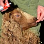 Nadat Ellen klaar is met het bekappen van een schaap zet zij een rode streep op de snuit van het schaap. Zo weet zij (ook op een afstand) welk schaap zij al heeft bekapt.