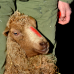 Een mooie rode streep op de snuit van deze 'Skudde'-schaap. Ze kan er weer even tegen.