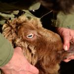 Kijk eens wat een schitterende ogen dit mooie schapenras heeft.