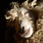 Soms komen de schapen door de 'manicure' echt tot rust en vallen ze bijna in slaap.